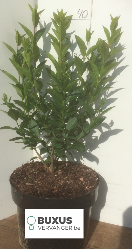 Ligustrum Ovalifolium 70 cm , 5 Liter pot