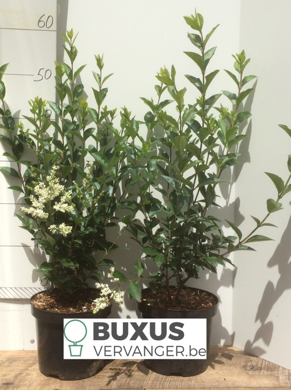 Ligustrum Ovalifolium 80 cm, 3 Liter pot