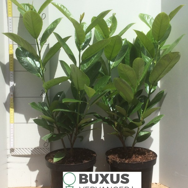 Prunus Laur. Rotundifolia 40 cm+, 3 Liter pot