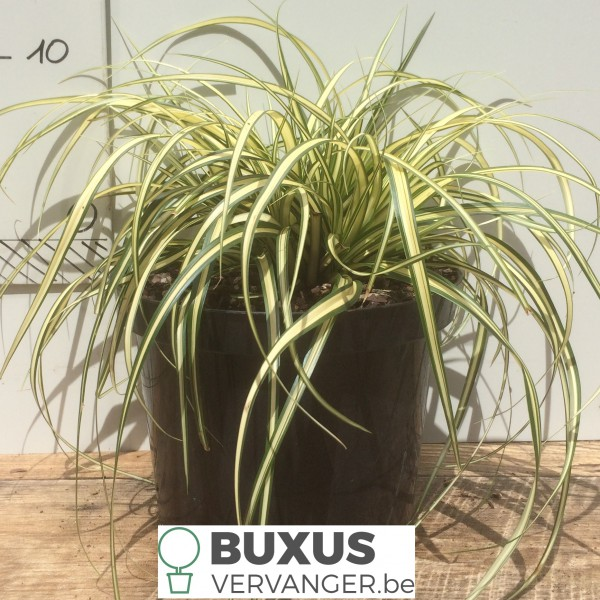 Carex oshimensis 'Evergold',  2 Liter pot