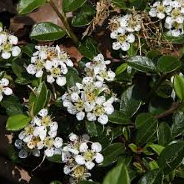Cotoneaster dammeri major P9