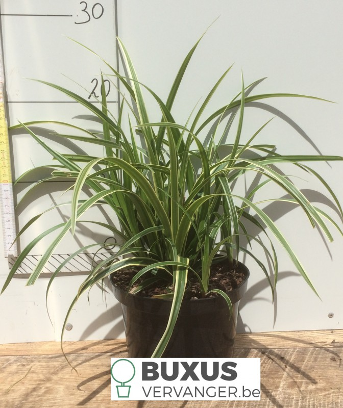 Carex morrowii 'Ice dance', 2 Liter pot