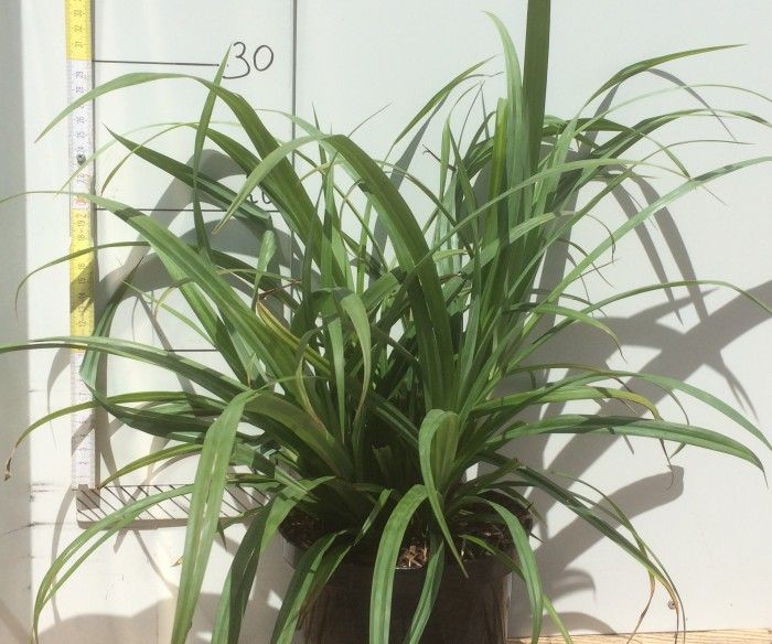 Carex pendula, 2 Liter pot