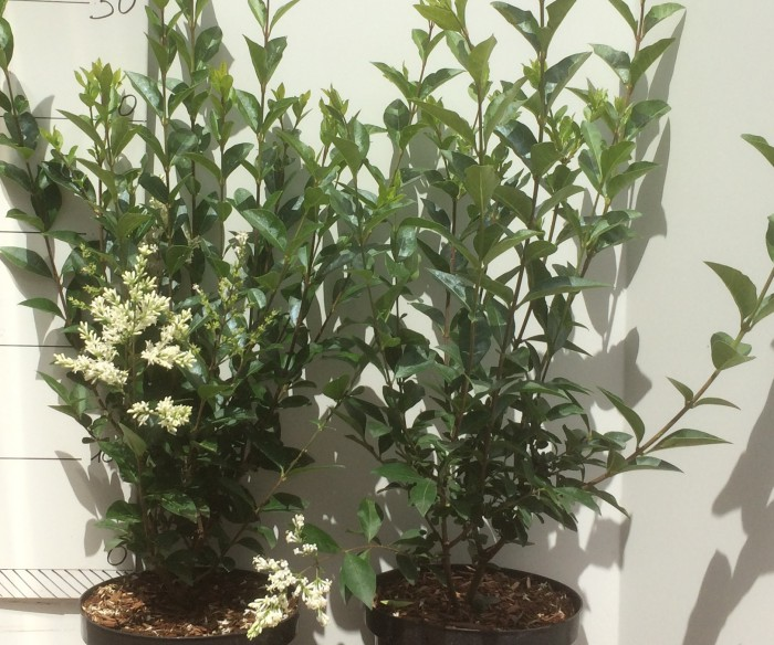 Ligustrum Ovalifolium 50 cm, 3 Liter pot